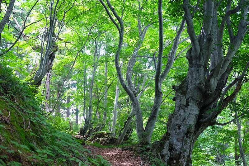 SMSR_029_Buna_beech_forest_path.jpg