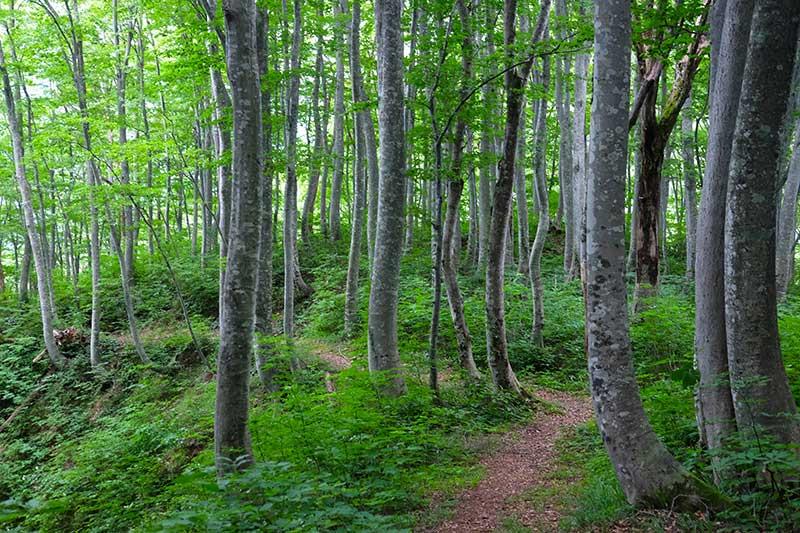 SMSR_028_Buna_beech_forest.jpg