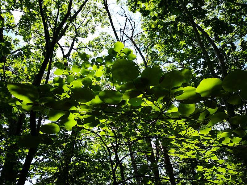 MCT_31.5_tree_leaves.jpg