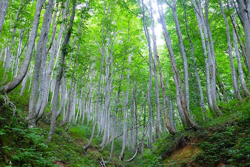 SMSR_030_Buna_beech_forest2.jpg