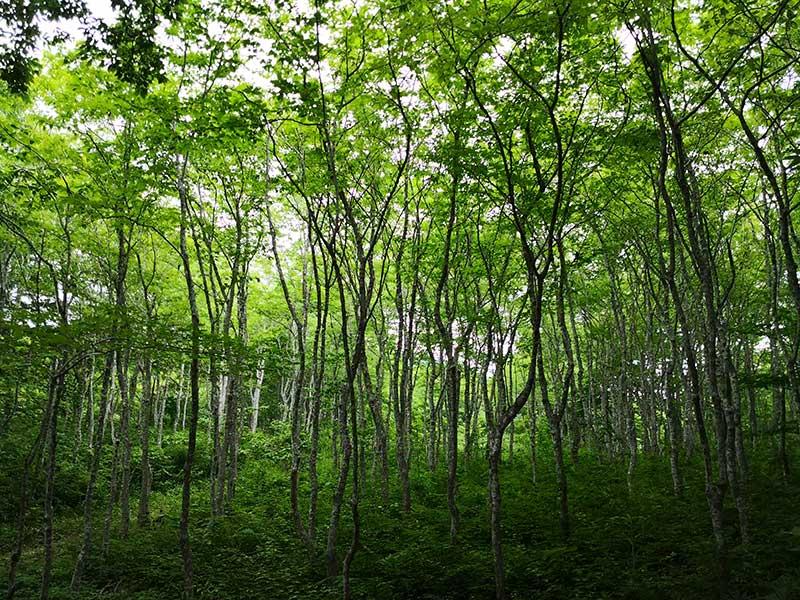 MCT_26_Buna_forest.jpg