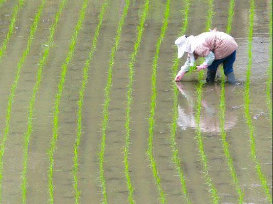 ETNW_riceplanting.jpg