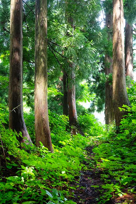 SMSR_018_Cedar_forest_path.jpg