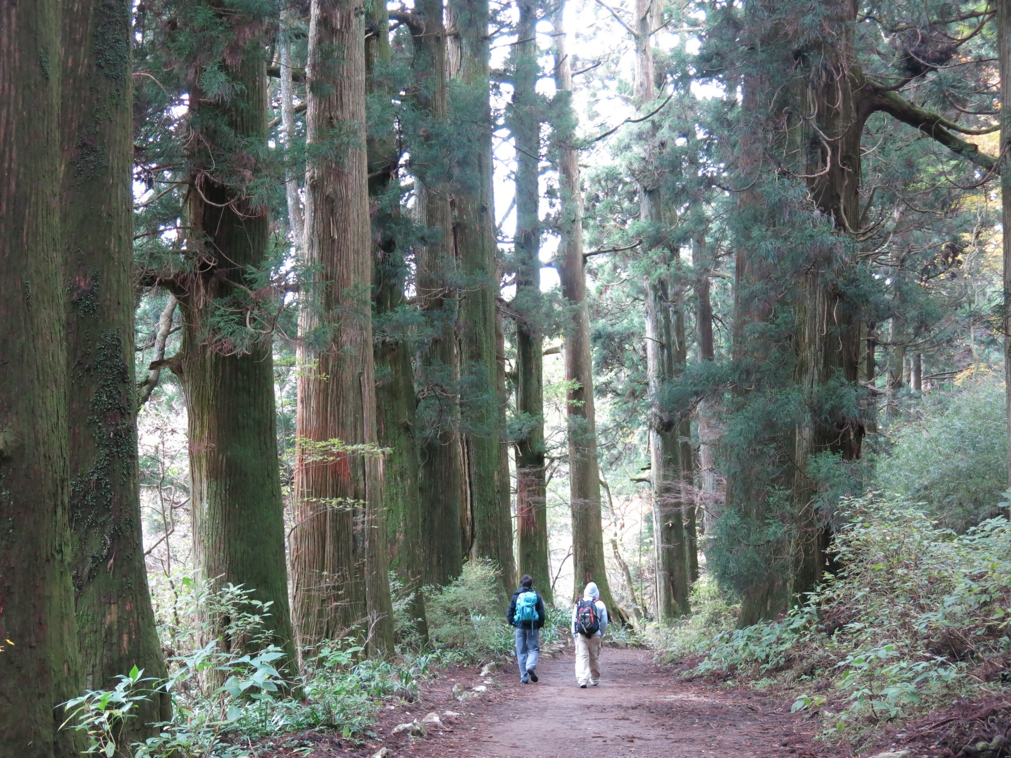 Tokaido_Trail_Walking_in_a_cedar_forest.jpg